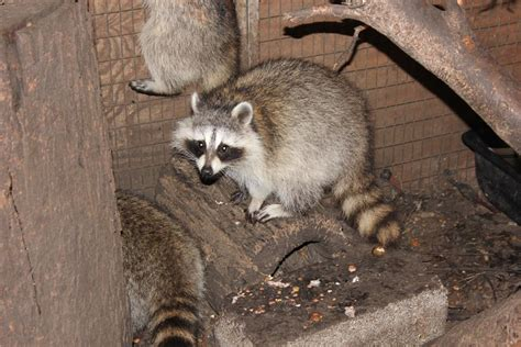 The Laughing Raccoon: Eggs, acorns and fun!