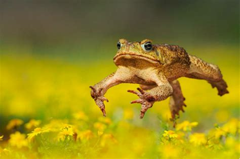 Cane toads accelerated their hostile takeover by evolving