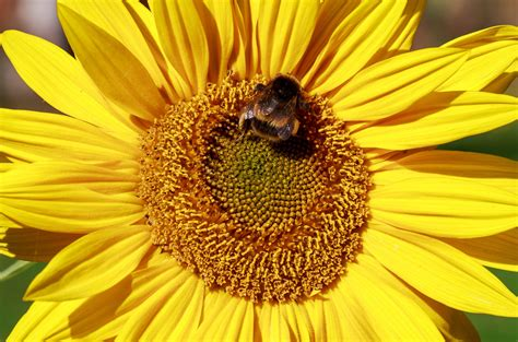 Save the Bees: Sunflower Pollen Could Boost Insects' Health