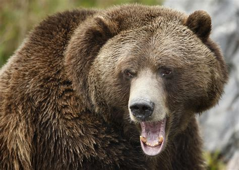 Climate Change Benefits Grizzly Bears In Canada: Study