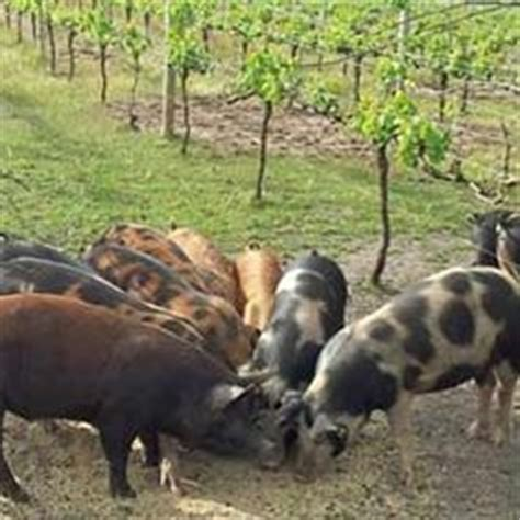1000+ images about Pigs on Pinterest | Hampshire, Piglets