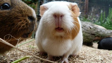 Daily Guinea Pig Routine - YouTube